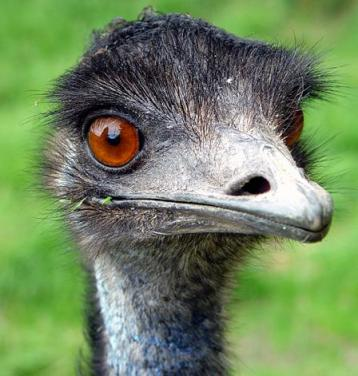 An emu gazes at the camera. Its eyes are empty, its gaze hollow.